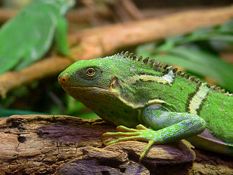 The Blue Lagoon (1980 film) - The Fiji crested iguana became known to herpetologists because of The Blue Lagoon.