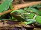 Fiji Crested Iguana444.jpg