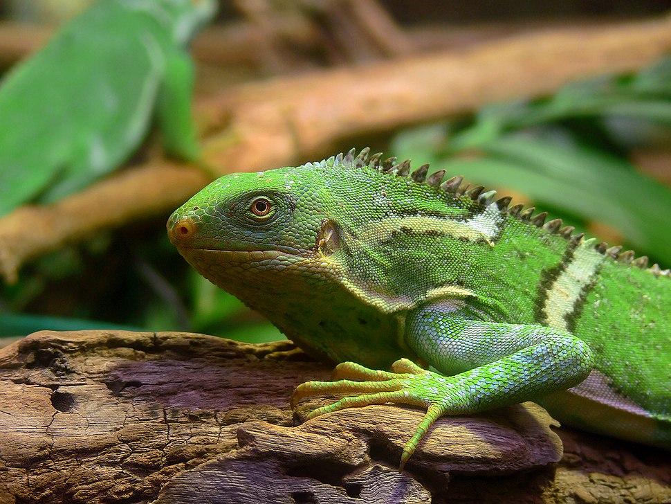 Fiji Crested Iguana444