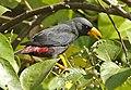Finch-billed Myna (Scissirostrum dubium) - Flickr - Lip Kee (cropped).jpg