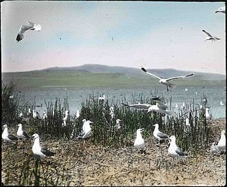 California gull - Hand-painted glass slide of a colony of California gulls at Malheur Lake, taken by Finley and Bohlman during a 1908 photograph trip to the area. Finley and Bohlman's photographs would later help Malheur become a bird refuge in 1908.