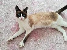 Snowshoe cat   Revolvy