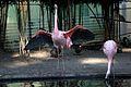 Flamingo-IMG 5566.JPG