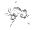 Fleur.coronille.png