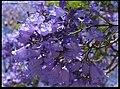 Fleurs du Flamboyant bleu. Jacaranda mimosifolia.jpg