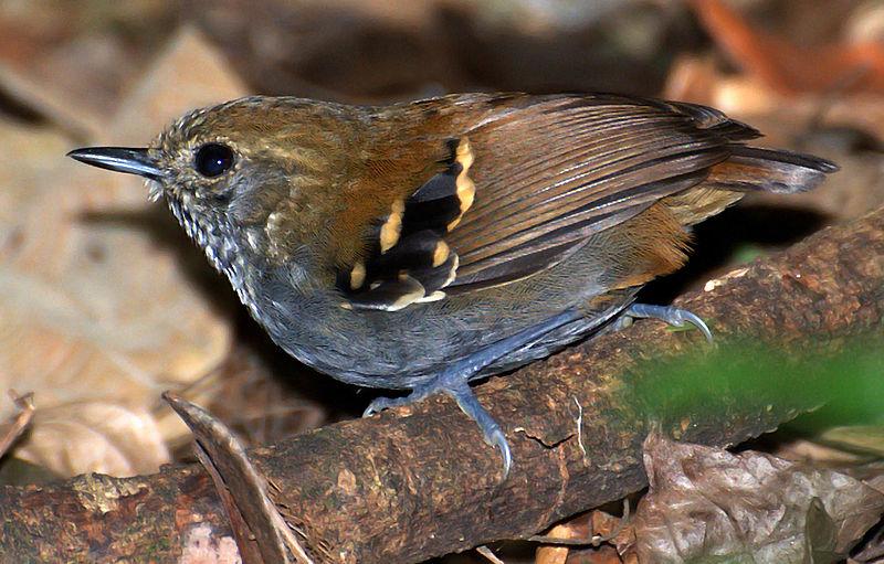 Ficheiro:Flickr - Dario Sanches - CHOQUINHA-DE-GARGANTA-PINTADA (Myrmotherula gularis).jpg