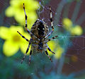 Flickr - Michael Gwyther-Jones - Garden Spider (2).jpg