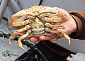 Flickr - Oregon Department of Fish & Wildlife - 3047 female dungeness crab munsel odfw.jpg