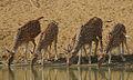 Flickr - Rainbirder - Cheetal.jpg