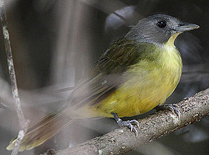 Flickr - Rainbirder - Grey-headed Bristlebill (Bleda canicapilla) (1) (cropped).jpg