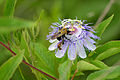 Flickr - ggallice - Passiflora incarnata.jpg
