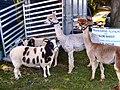 Flickr - ronsaunders47 - ALPACAS AND JACOB SHEEP..jpg