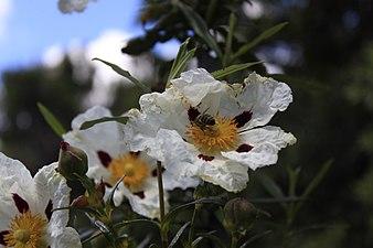 Flor 3 Cuenca Manzanares.jpg