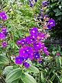 Flor del jardí del museu de Leimebamba05.jpg