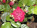 Floribunda - Red Favorite 4 (b).JPG