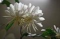 """Flower Queen Of The Night """"Epiphyllum Oxypetalum"""".jpg"""