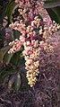 Flowers on Mangifera indica.jpg