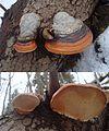Fomitopsis pinicola 2 Podkomorské lesy.jpg