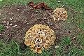 Fontainebleau champignons Fungi novembre 2020 04.jpg