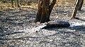 Forest Fire @ Wayanad Wildlife Sanctuary, Muthanga Range - panoramio (4).jpg