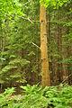 Forest of Dean near Symonds Yat (9805).jpg
