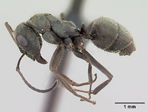Präparierte Formica cinerea -Arbeiterin