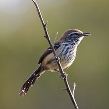 Formicivora rufa - Rusty-backed Antwren (female).jpg