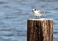 Forster's Tern Begging fledgling.jpg