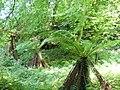 Fougères jardin Suscinio.jpg