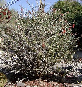Fouquieria diguetii whole.jpg