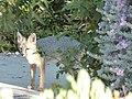 Fox (28345018661).jpg
