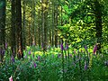 Foxgloves and pines, Savernake Forest - geograph.org.uk - 1370286.jpg