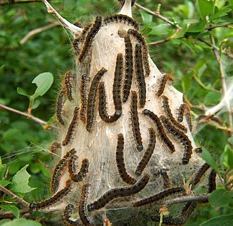 Structures built by animals - Communal silk nests of the small eggar moth Eriogaster lanestris