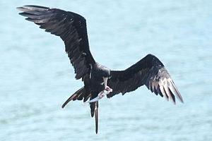 Lesser frigatebird - Image: Fregata ariel Labuan Tawoa Batuputih (4)
