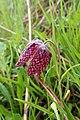 Fritillaria meleagris kz01.jpg