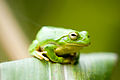 Frog on corn leaf2.jpg