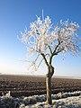 Frost Tree (32094864995).jpg