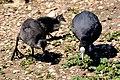 Fulica atra -Pensthorpe Nature Reserve-8.jpg
