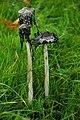 Fungi in the Great Park, Blenheim - geograph.org.uk - 1015771.jpg