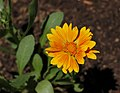Gaillardia 'Oranges and Lemons' Flower.jpg
