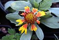 Gaillardia aristata Arizona Sun 2zz.jpg