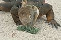 Galapagos Land Iguana Eating.jpg