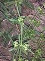 Galium tricornutum sl21.jpg