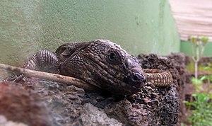 El Hierro giant lizard - Image: Gallotia Simonyi at Centro de recuperación del lagarto gigante