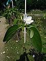 Gardenia Or Gondhoraj Flower.jpg