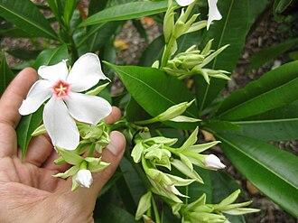 Cerbera floribunda - Image: Gardenology.org IMG 2638 rbgs 11jan