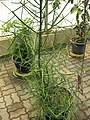 Gardenology.org-IMG 8050 qsbg11mar.jpg