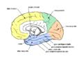 Gehirn lobi medial.png