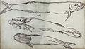 Gelderland1601-1603 Chirocentrus dorab Remora remora.jpg