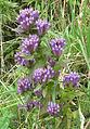 Gentianella quinquefolia 001.jpg